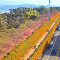 苗栗縣休閒旅遊 景點 景點其他 銅鑼炮仗花步道 照片