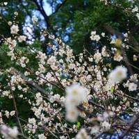 桃園市 休閒旅遊 景點 公園 2018角板山梅花季 照片